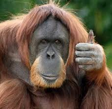 blog picture_orangutan